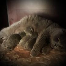 Blauwe Brits Korthaar kittens. Nog 1 poesje en 1 katertje beschikbaar ** (mogen begin januari naar een nieuw huisje )**