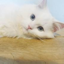 Witte brits langhaar (HS) met helder blauwe ogen, katertje ** (mag vanaf 1 november naar een nieuw huisje)**